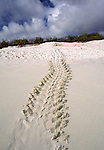 green sea turtle tracks on Espanola island