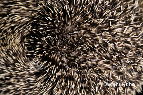 MA42-051z   African Pygmy Hedgehog - close up of quills - Atelerix albiventris