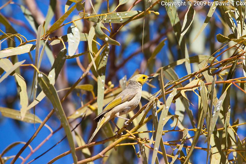White-Plumed Honeyeater, Tennant Creek, NT, Australia