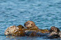 Southern Sea Otter (Enhydra lutris nereis) mother with young, playful pup.  Central California Coast.  Mother otter is trying to rest while being tied up in kelp while her baby is being a pest.