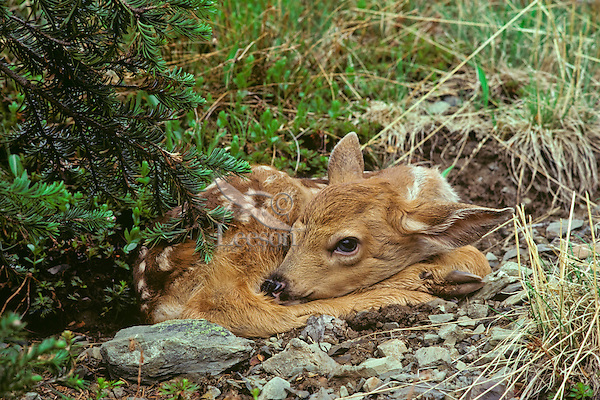 Black-tail deer fawn huddled on ground to avoid detection, Olympic N.P.