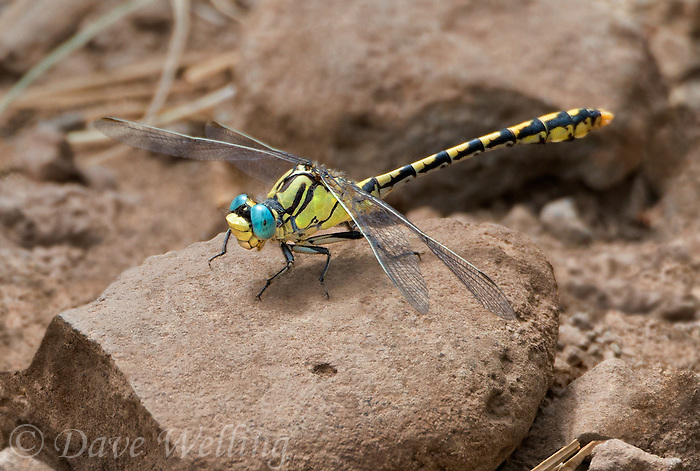 389690013 a wild male great basin snaketail ophiogomphus morrisoni perches on a rock along ash creek lassen county califonria