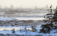 In Churchill, Manitoba, Canada polar bears (Ursus maritimus) gather to wait for the Hudson Bay ice to freeze.  The ice near Churchill had frozen enough where most of the bears had already left.  This mother and yearling cub nest for one more night on land.  The next morning they wake up do a few yoga stretches near the Tundra Lodge and then depart for the ice.