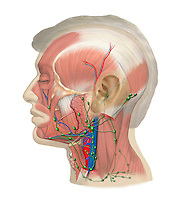 Biomedical illustration of the lateral view of the lymph nodes of the head and neck superimposed over the facial and neck muscles.