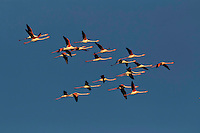 Greater Flamingos in flight, Camargue, France