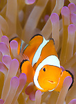 A Clown anemonefish (Amphiprion percula) in a purple anemone at the dive site Dickie's Place in the Witu Islands, Kimbe Bay