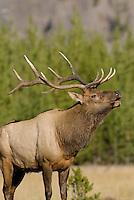 Rocky Mountain Bull Elk (Cervus elaphus).  Rocky Mountain area.  Fall.
