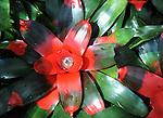A popular bromeliad, Aechmea fasciata, Guzmania hybrid, Red green flower,