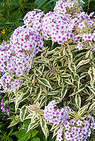 Phlox paniculata 'Norah Leigh' variegated leaves foliage with fragrant pink flowers