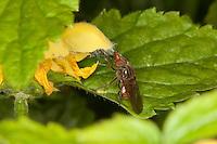 Feld-Schnabel-Schwebfliege, Schnabel - Schwebfliege, Schnabelschwebfliege, Gemeine Schnauzenschwebfliege, Schnauzen-Schwebfliege, Rhingia campestris, Blütenbesuch an Goldnessel, Common Snout-hoverfly