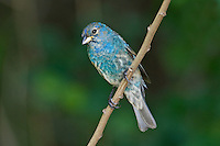 510370048 a juvenile male indigo bunting passerina cyanea, a wild migrating songbird stops during migration at south padre island off the coast of south texas
