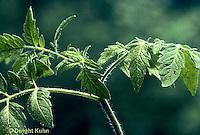 HS09-001d  Tomato - healthy plant, turgid