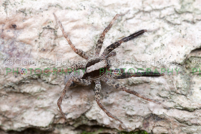 Wolf Spider (Schizocosa crassipes) - Male, West Harrison, Westchester County, New York