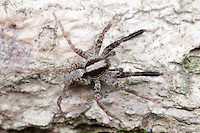 Wolf Spider (Schizocosa crassipes) - Male, West Harrison, Westchester County, New York