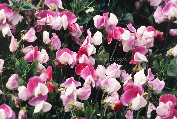 Lathyrus odoratus Cupid, pink and white sweetpea