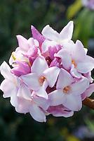 Daphne bholua 'Jacqueline Postill' in winter bloom