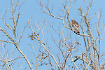 Brazoria County, Damon, Texas; a red-shouldered hawk sitting on a branch in a tall tree in afternoon sunlight