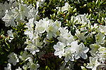 Azalea IRISH CREME, Rhodendron x 'IRISH CREME', at Mercer Arboretum and Botanical Gardens in Spring, Texas.