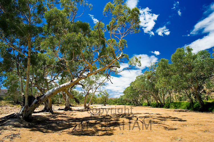 Eucalyptus trees in dried-up Finke River, West Maddonnell National Park, Central Australia