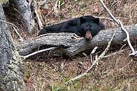 Black Bear laying on a log