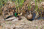 A Mallard Duck pair rest in the early in a pond near Lake Nokomis