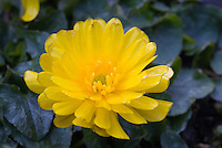 Double flowered buttercup Ranunculus ficaria 'Double Bronze'