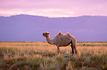 Bactrian camel (Camelus bactrianus), Great Gobi Protected Area, Mongolia<br /> Canon EOS-1N<br /> Canon 70-200mm lens<br /> June 1998