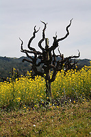 The stark, gnarled and pointed branches of an old grapevine growing in a field of yellow mustard between Geyserville and Calistoga in Napa County in Northern California.