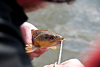 Removing a fly from a brown trout caught on the Green River a trout stream in the Driftless Area of southwestern Wisconsin.
