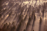 A dense forest of Douglas firs creates an abstract pattern of light and line as the tall trees cast their shadows over low-lying fog, Washington