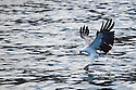 A Fish Eagle catching food in Rinca Island and Komodo National Park, Indonesia