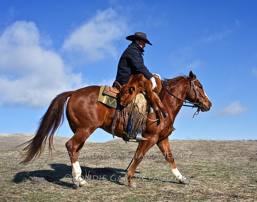 Wild West Outlaw Cowboy Carrying Calf o...