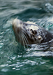 Harbor seal, Washington