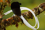 Ribbon-tailed Astrapia (Astrapia mayeri) adult male.