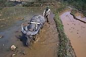 Farmer plowing rice paddy with water buffalo, Sapa, Northern Vietnam