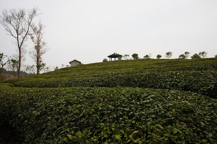 Liu San Jie Tea farm near Guilin, China