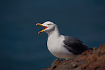 Yellow Legged Gull, Larus michahellis, at Playa Del Ingles, La Gomera, Canary Islands