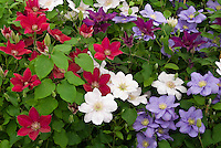 Clematis 'Chantilly' (white), 'Rebecca' (red), 'Bijou' (mauve-blue) in red, white and blue patriotic planting combination scheme