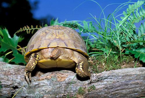 Box turtle climbs over log