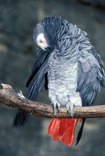 African grey parrot preening feathers