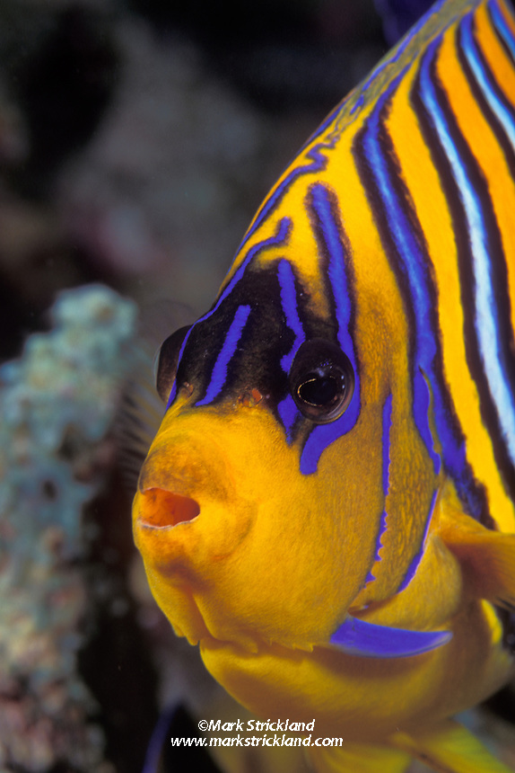 Normally rather shy, this Regal Angelfish, Pygoplites diacanthus, was preoccupied with browsing among coral rubble, giving the photographer an opportunity for this tight portrait.  Andaman Sea