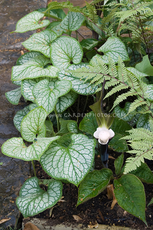 Brunnera macrophylla 'Jack Frost' and Arisaema sikokianum (black japanese Jack in the Pulpit shade plants with fern