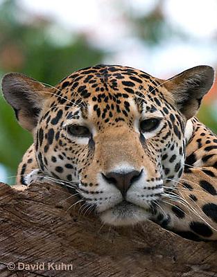 0522-1104  Goldman's Jaguar, Belize, Panthera onca goldmani  © David Kuhn/Dwight Kuhn Photography