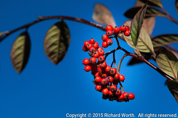 Bright red berries against a deep blue sky at an urban neighborhood park.