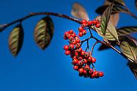 Bright red berries against a deep blue sky at an urban neighborhood park.