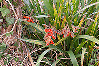 Iris foetidissima in berry in fall