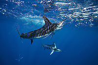 qf2515-D. Striped Marlin (Tetrapturus audax), feeding on Pacific Sardines (Sardinops sagax). Baja, Mexico, Pacific Ocean..Photo Copyright © Brandon Cole. All rights reserved worldwide.  www.brandoncole.com..This photo is NOT free. It is NOT in the public domain. This photo is a Copyrighted Work, registered with the US Copyright Office. .Rights to reproduction of photograph granted only upon payment in full of agreed upon licensing fee. Any use of this photo prior to such payment is an infringement of copyright and punishable by fines up to  $150,000 USD...Brandon Cole.MARINE PHOTOGRAPHY.http://www.brandoncole.com.email: brandoncole@msn.com.4917 N. Boeing Rd..Spokane Valley, WA  99206  USA.tel: 509-535-3489