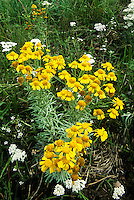 131950005 a small group of showy goldeneye wildflowers in blossom with yellow flowers near grand canyon natioinal park arizona
