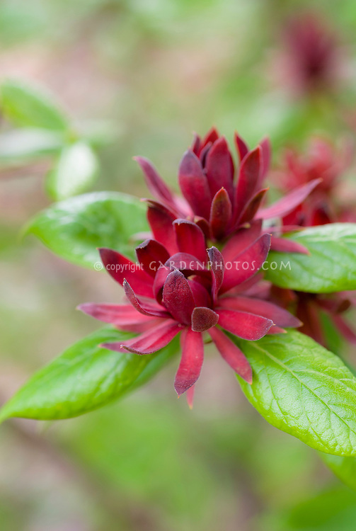 Calycanthus floridus Spicebush Sweet Betsy in red flowering bloom in summer, native American plant, soft background