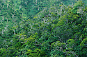 Tropical rainforest of native Hawaiian tree species at Kokee State Park, Island of Kauai, Hawaii.